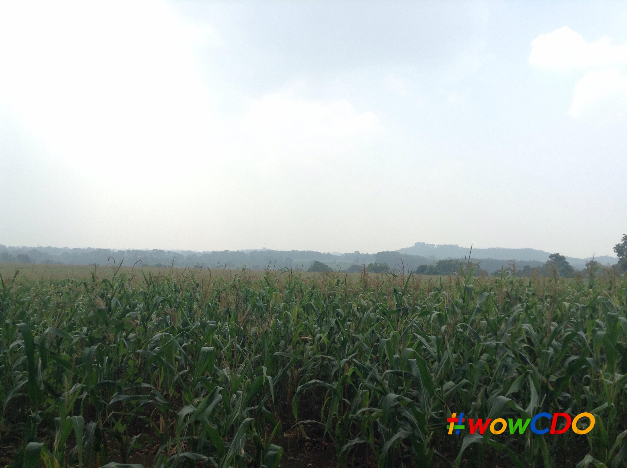 bukidnon-corn-farm