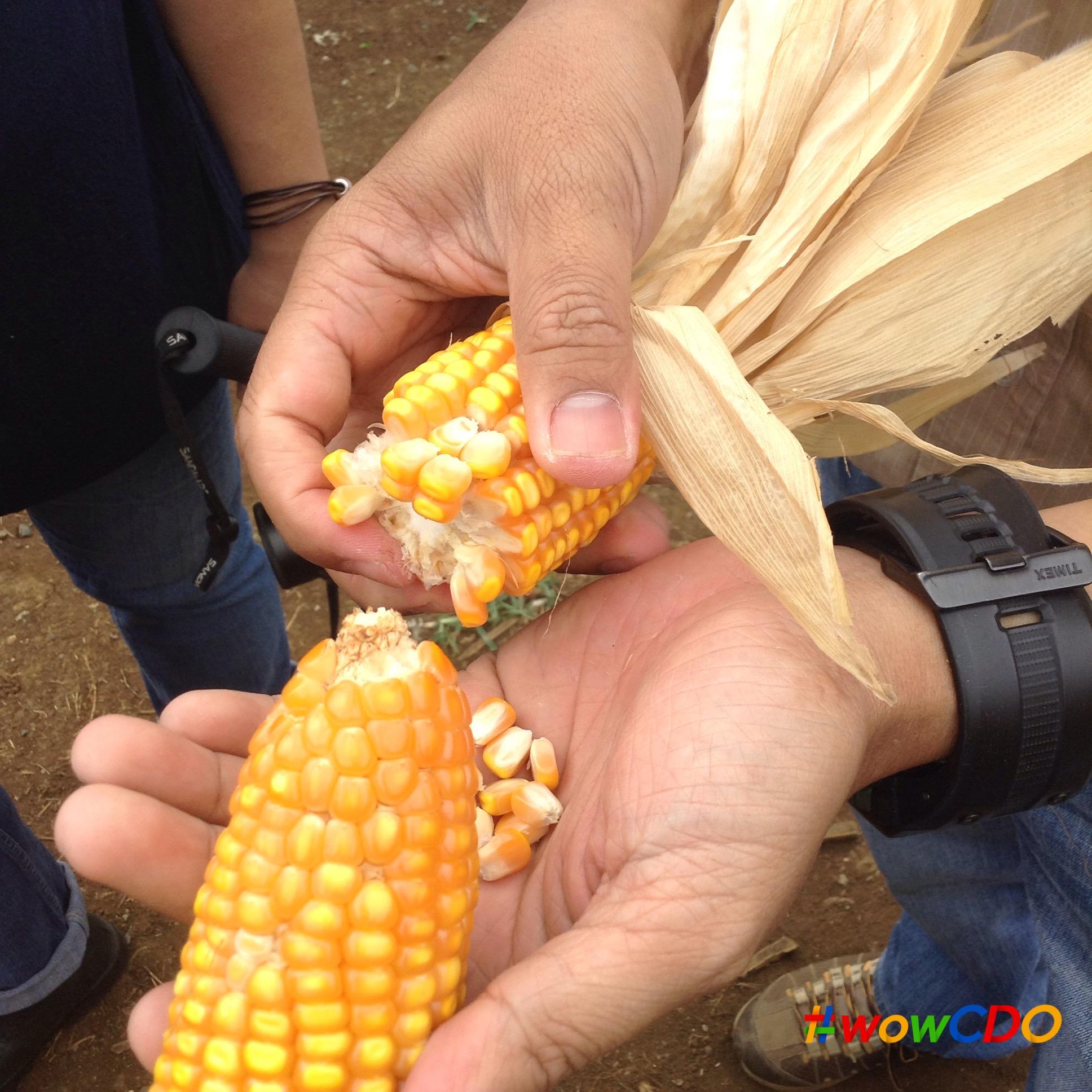 bukidnon-dekalb-corn-seeds